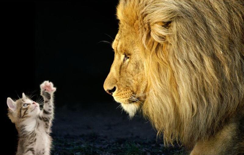 лев и кот